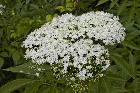 small white flowers small white flowers clippix etc educational photos for