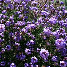 northern california native plants why grow that when you can grow this alternatives to overused