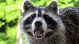 Meme Generator Raccoon - create meme sly raccoon meme generator raccoon sly raccoon