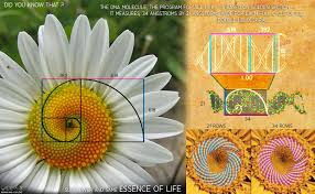 golden ratio dna spiral our dna s wavelength is 34 angstroms and it s height is 21
