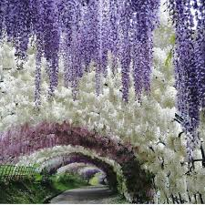japanese native plants these pics of japan u0027s wisteria tunnel are straight out of a