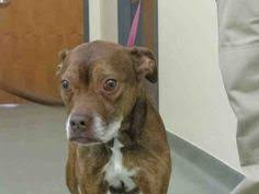 boxer dog for adoption bull boxer dog for adoption in garfield heights oh adn 472078 on