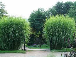 138 best ornamental grasses images on ornamental