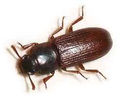 Biscuit Beetle In Bedroom Red Flour Beetles How To Get Rid Of Red Flour Beetles