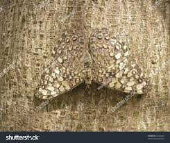 camouflage butterfly on bark tree stock photo 65300566
