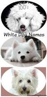 bichon frise names male best white dog names for your new white puppy