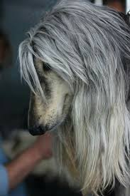 afghan hounds for adoption 141 best afghans images on pinterest afghans afghan hound and dogs