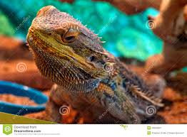 colorful bearded dragon glass stock photo image 50649064