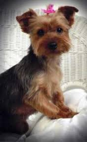 yorkie poo haircut yorkshire terrier picture check them out