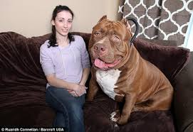 american pitbull terrier in uk all aboard hulk the world u0027s biggest pit bull with a 28 inch wide