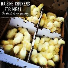 raising chickens for meat choosing a breed gathering supplies