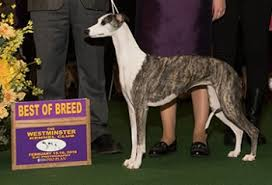 westminster bluetick coonhound 2016 westminster 2016 hound group best in breed list doggies com dog