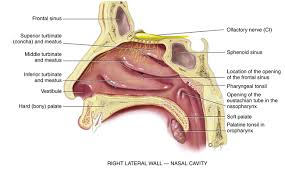 Nose Anatomy And Physiology Ear Nose Throat And Mouth Musculoskeletal Key