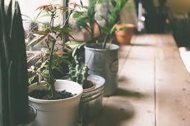 houseplants 10 common houseplants and how to take care of them zing blog by
