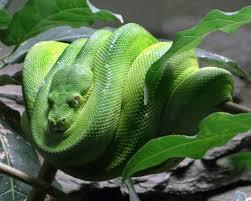 green tree python morelia viridis wiki