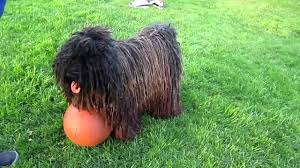 affenpinscher india top 10 ugliest dog breeds youtube
