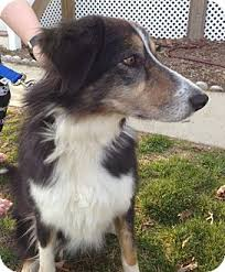 australian shepherd collie mix lady adopted dog richmond va australian shepherd collie mix