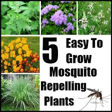 mosquito plants catnip plant mosquito repellent 5 easy to grow mosquito repelling