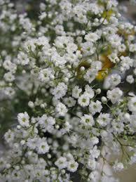 Baby Breath Flowers The Secret Garden Decatur Gypsophila Baby U0027s Breath