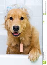 Dog In Shower by Funny Dog With Hair Curlers And A Shower Cap Stock Photos Image