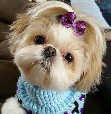 pictures of shih tzu haircuts beyond the puppy cut shih tzu hair styles iheartdogs com