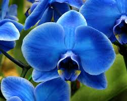 blue orchids blue orchid photograph by peg