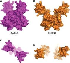 crystal structure of dna gyrase b u2032 domain sheds lights on the