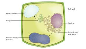 plant vacuole stomata learn science at scitable