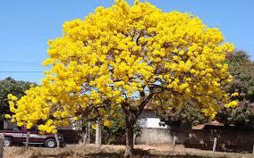 tabebuia tree for sale cape coral