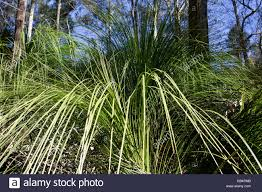 planting native grasses the forest grass tree xanthorrhoea johnsonii a spectacular