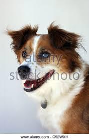australian shepherd x border collie australian shepherd x border collie canis lupus familiaris