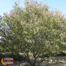 desert trees moon valley nurseries