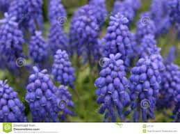 blue and purple flowers vibrant blue and purple flowers stock image image 671161