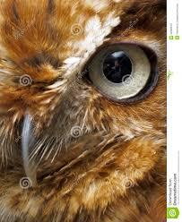 eye and beak of brown owl royalty free stock images image 22983619