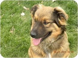 belgian sheepdog puppy cost tonka adopted puppy seattle wa husky belgian shepherd mix