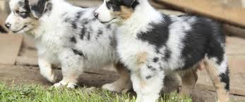 australian shepherd dog for sale our puppies toy and mini aussie puppies for sale miniature