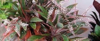 ti plant cordyline hawaiian ti plant luck plant ti plant cordyline