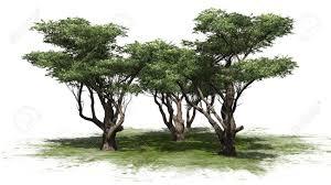 acacia tree cluster isolated on white background stock photo