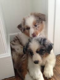 twin oaks 2 australian shepherd australian shepherd puppies blue merle and red merle australian