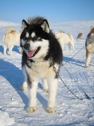 american eskimo dog winnipeg bred to survive canada u0027s iconic sled dogs face their greatest