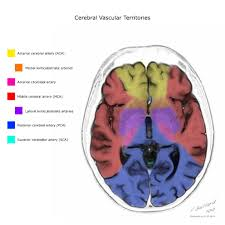 Vascular Anatomy Of The Brain Cerebral Vascular Territories Radiology Reference Article