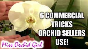 buy an orchid 6 tricks sellers use to make you buy orchids