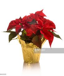 poinsettia stock photos and pictures getty images