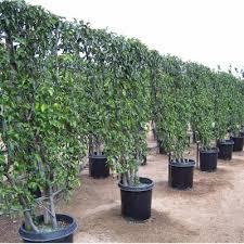 glen flora farms wholesale trees espaliers evergreen