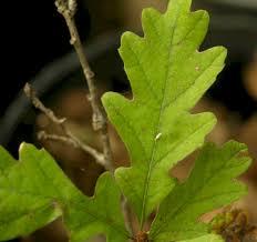 White Oak Leaf The Wild Garden Hansen U0027s Northwest Native Plant Database