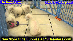 bichon frise breeders in pa bichon frise puppies for sale in allegheny pennsylvania pa