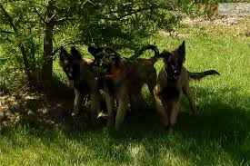belgian shepherd virginia lancelot belgian shepherd tervuren puppy for sale near charleston