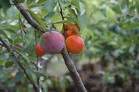 tree of 40 fruit by sam van aken time