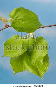 summer lime tree tilia platyphyllos fork leaves blossoms stock