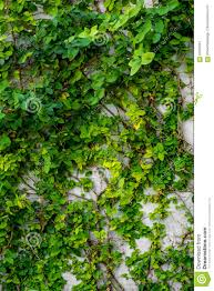 green plants natural background plants climbing a wall stock